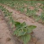 Lluvias permiten gran avance en la siembra de temporal con más de 75 mil hectáreas