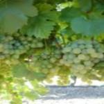 Resurge la actividad vitivinícola en el Estado