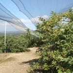 SAGARPA revisa huertos de guayaba en el municipio de Calvillo, que podrían ser afectados por fenómenos meteorológicos