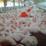 Consolida Aguascalientes actividad avícola